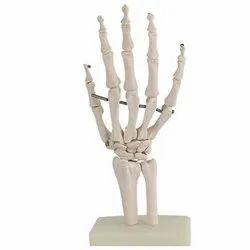 Wrist Joint Model