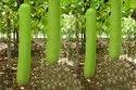 Green Hybrid Bottlegourd Varun / Hyveg, Packaging Type: Pouch, Packaging Size: 10 G