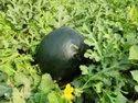 Black Badshah F-1 Hybrid Watermelon Seed