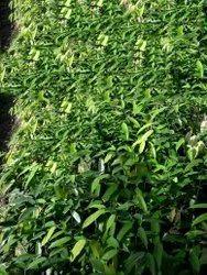 Full Sun Exposure Natural Nahor Plant, For Garden