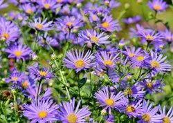 Aster Purple Flower, Grams