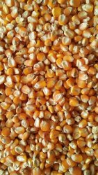 A Grade Dried Sweet Corn, Loose