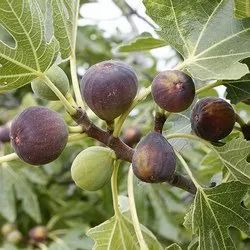 Fig Plant
