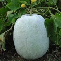 A Grade white HYBRID ASHGOURD - MAHYCO / MAHY 2, 50 g, Packaging: pouch
