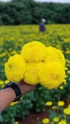 Yellow Tokyo F1 Marigold Seeds, For Agriculture