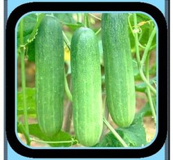 Green Hybrid Cucumber - Malav, For Agriculture, Packaging Type: Pouch