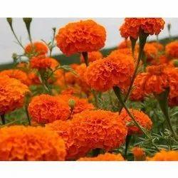 Natural Hybrid Orange Marigold Seeds, For Agriculture, Packaging Type: Packet