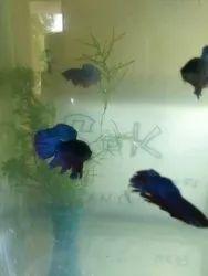 Blue Malebetta Fish, For Home, Size: 1