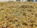 Dandelion Dried Flower