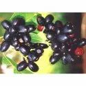 Jamun Seed Extract
