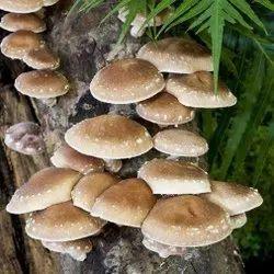 Shitake Mushroom Spawn