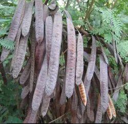 Natural subabul seed (Leucaena leucocephala), For Plantation, 1