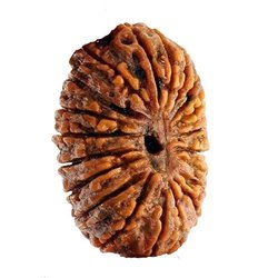 Golden Round 20 Mukhi Nepali Rudraksha With X Ray And Lab Certification