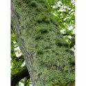 Evernia Furfuracea Green Treemoss绝对(纯净和自然),用于药品,包装类型:铝瓶装