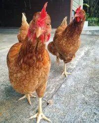 国家鸡小鸡(1天),新鲜