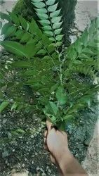 A Grade Dry Curry Leaves, Carton, Packaging Size: 10 Kg