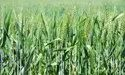 Natural Dbw 187 Karan Vandana Wheat Seed, Packaging Type: Pp Bag, Packaging Size: 40 Kg