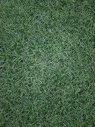 For Garden Well Watered Natural Australian Lawn Grass