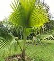 Green World Fiji Fan Palm /  Pritchardia Palm Ornamental Tree Seeds