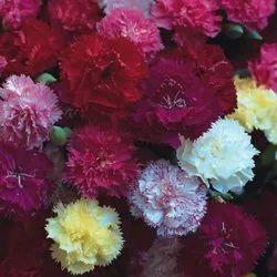Green World Carnation Chaubad Mix Seeds (50 Seeds)