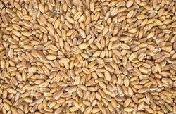 Golden Hard Red Spring Wheat Grain