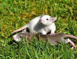 Rodent Pest Control Service, Local Area