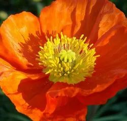 Green World Iceland Poppy Papaver Naudicaule Mix Seeds(50 Seeds)