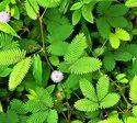 Green World Chui Mui Beej / Mimosa Pudica / Lajwanti / Shame Plant  Seeds  For Farming