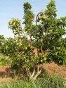 Avocado fruit plant
