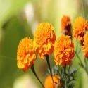 Marigold Flower Extract Lutein Powder 5%, 10%,