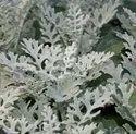 Green World Cineraria Maritima Silverdust Seeds (50 Seeds)