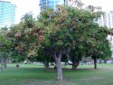 Green World Sterculia Foetida / China Almond / Java Olive Tree Seeds