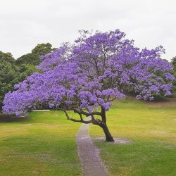 Green World Jacaranda Mimosifolia Seeds For Farming, Gardening & Bonsai Gardening