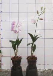 Dendrobium Orchid Flower, Single Plant