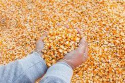 Dried Brown Feed Corn, Organic