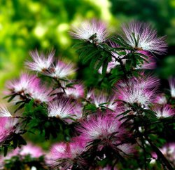 Green World Rain Tree Seeds  For Farming , Gardening & Bonsai Gardening