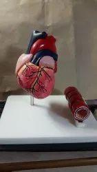Human Heart Fiberglass Model