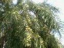 Amla Plant