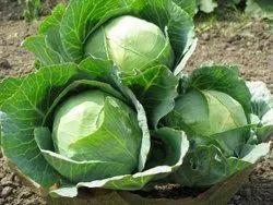 Hybrid Cabbage Seed, Packaging Type: Plastic Bag, Packaging Size: 1KG