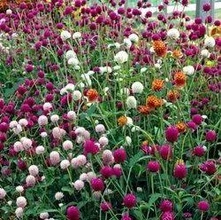 Green World Gomphrena Choice Mix Gomphrena Seeds(50seeds)