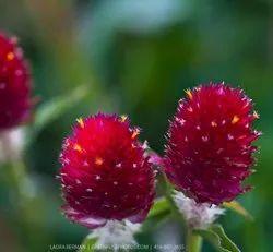 Green World Gomphrena Strawberry Fields Gomphrena Seeds(50 Seeds)