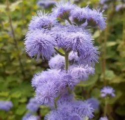 Green World Ageratum Seeds (50 Seeds)