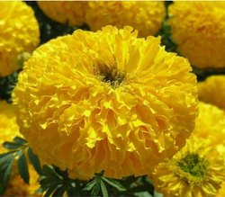 Green World Basanti Yellow Marigold / Genda Seeds Marigold Hybrid Seeds
