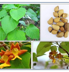 Green World Gambhari / Gmelina Arborea Ayurvedic Tree Seeds  For Farming