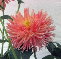 Green World Dahlia Variabilis Top Stars Seeds(50 Seeds)