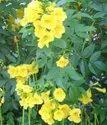 Green World Tecoma Stans / Yellow Trumpet Bush Tree Seeds For Farming  &  Gardening