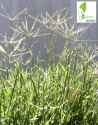 Green World Bermuda Grass / Doob Grass / Carpet Grass / Cynodon Dactylon Seed
