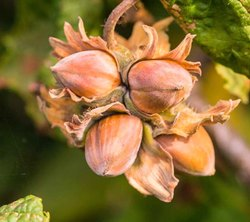Green World Hazelnut Seeds For Farming ,Gardening & Bonsai Gardening