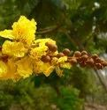 Green World Peltophorum Pterocarpum Seeds / Yellow Flame Tree Seeds