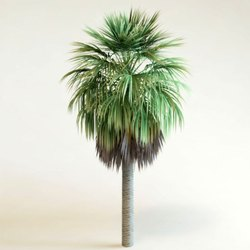 Green World Washington Palm / Washington Robusta / Mexican Fan Palm Ornamental Tree Seeds